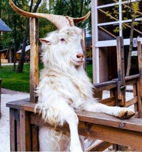 козел зазенский