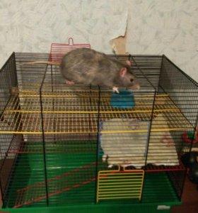 Крыса ручная