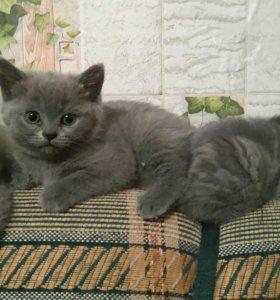 Кошечка прямоушка