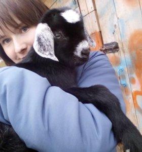 Козлик от хорошей козы и 100% нубийца