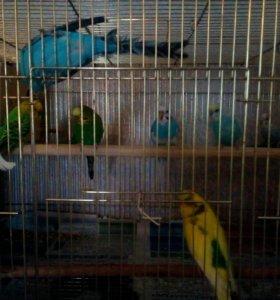 Самцы и Самки волнистых попугаев