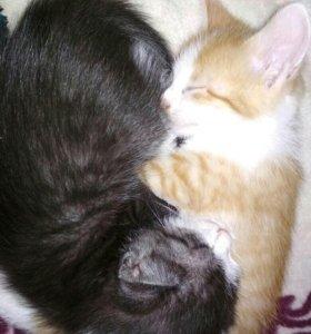 Котята-британцы в добрые руки бесплатно