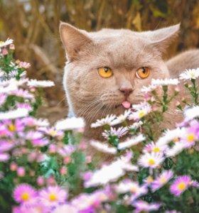 Вязка ( британский кот )
