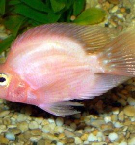 Рыбки цихлазомы