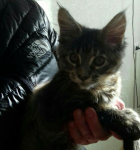 Продам котенка.порода Мэйкун, 2.6 месяца .девочка