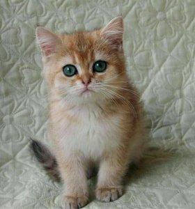 Британские котята редких окрасов