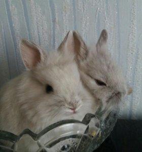 Карликовые кролики баранчики