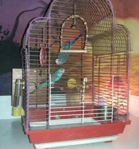 Валнистые попугаи