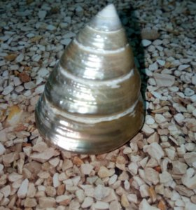 Раковина декор Трохус жемчужный