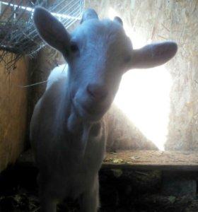 Крупная коза