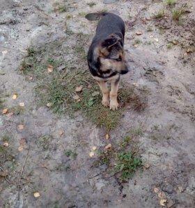 Собака и щенки сторожевой породы
