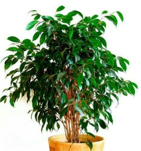 Фикус( мелкие зеленые листочки)