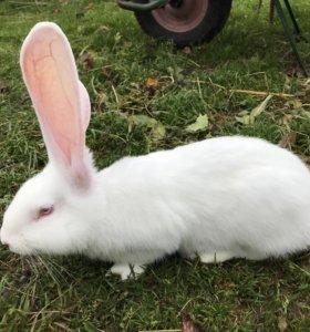 Крольчата трехмесячные породы Фландр