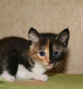 Котята от кошки крысоловки.1 месяц.