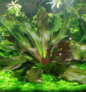 Аквариумное растение - Эхинодорус Оцелот