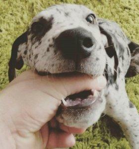 Продается щенок Немецкого дога, 4 месяца