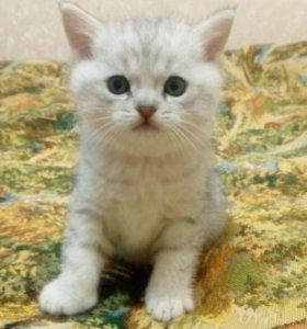 Шотландские котята: вислоухий и страйт