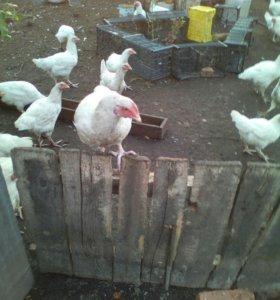 Мясо птицы(цыплята,халяль)
