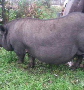 Продам вьетнамскую свинью