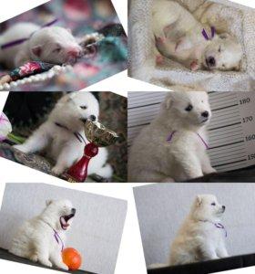 Продам щенки самоеды
