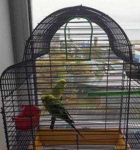 СРОЧНО!!! Волнистые попугайчики