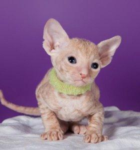 Кудрявый котёнок Корниш Рекс