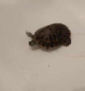 Продам красноухую черепаху.