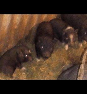 Продам свиней вьетнамских