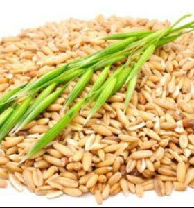 Овес, дробленка, пшеница
