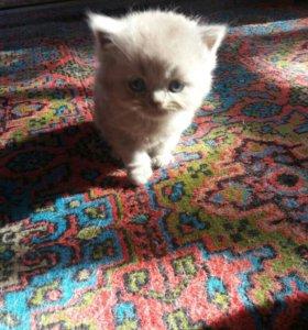 Продам котят шотландских