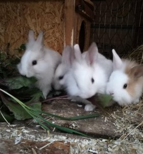 Крольчата декоративные(карликовые)