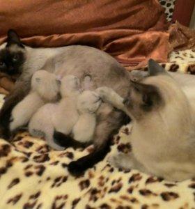 Котята сиамцы