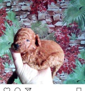 Продам щенков Мальчики мини-пудели