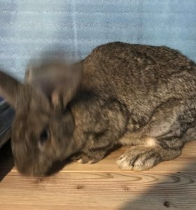 Кролики фландер самцы