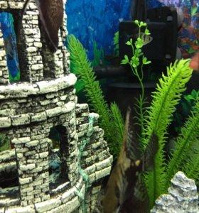 Аквариумные рыбки. Скалярия 2 шт.