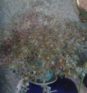 Денежное дерево,хлорофитум