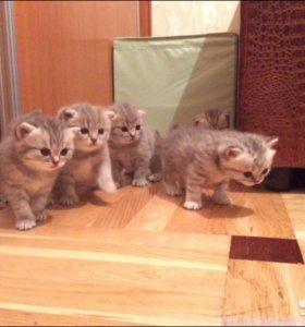 Вислоухие британские котята торг уместен