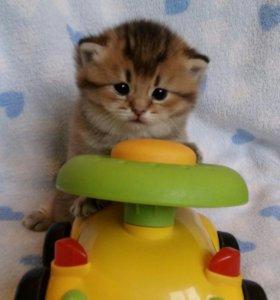 Британские котята(золотая шиншилла)