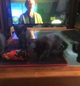 Чёрные котята