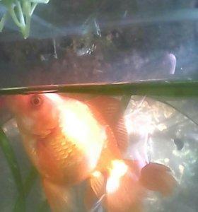 Золотая рыба 5 лет