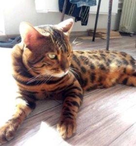 Вязка с бенгальским котиком.