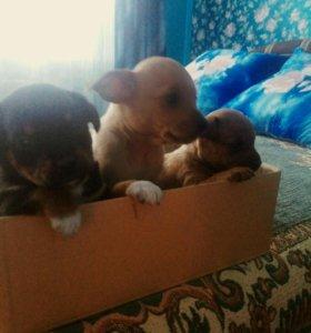 Продаются щенки Пинчера