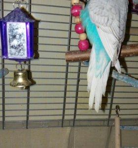 Выставочные волнистые попугаи из гнезда