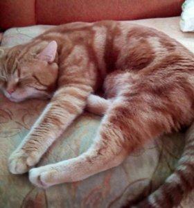 Чистокровный шотландский прямоухий котик на вязку