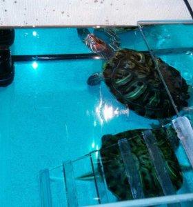 Красноухие черепахи с приданым.