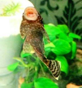 Рыбки сомики анцитрусы мальки