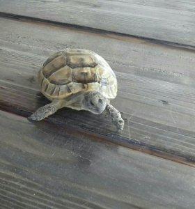 Сухопутная черепаха маленькая