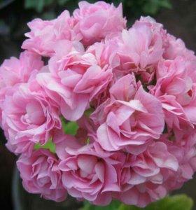 Пеларгония ( герань) розебудная