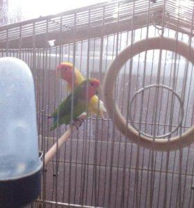 Попугаи неразлучники пара + клетка в подарок!