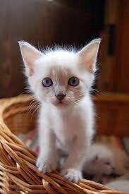 Котенок тайская девочка